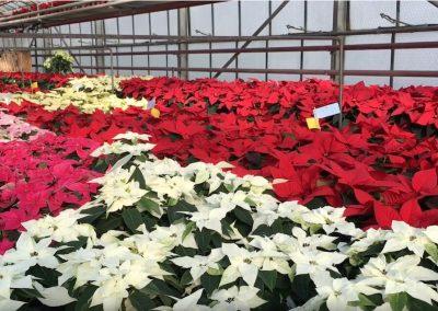 Blumen-guenstig-kaufen